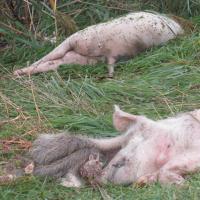 Не больше трех свиней на подворье